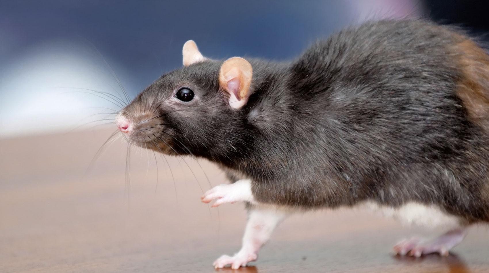 Behandlung von Ratten in der Tierarztpraxis Berg am Laim
